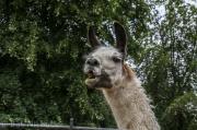 Alpaccas and Llamas