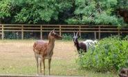 Fallow Deer and Goat
