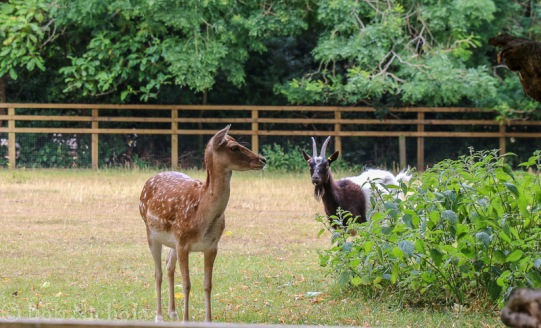 Fallow Deer and Goat