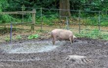 Happy as a Pig in Mud