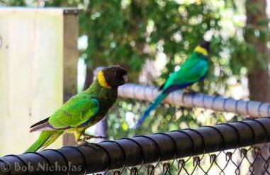 Australian Ringnecked Parrot